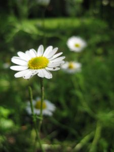 The chamomile in our garden