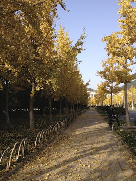 The sidewalks are lined with these Gingko trees and so it is like a corridor of yellow.